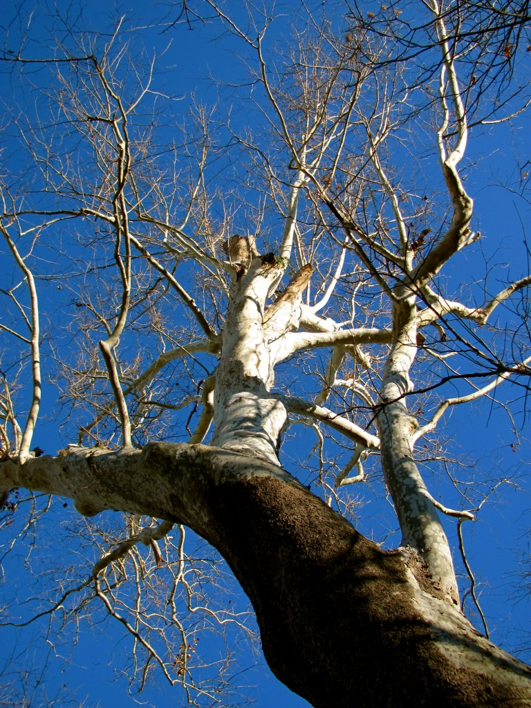 Ancient Sycamore Trees by Shenandoah River