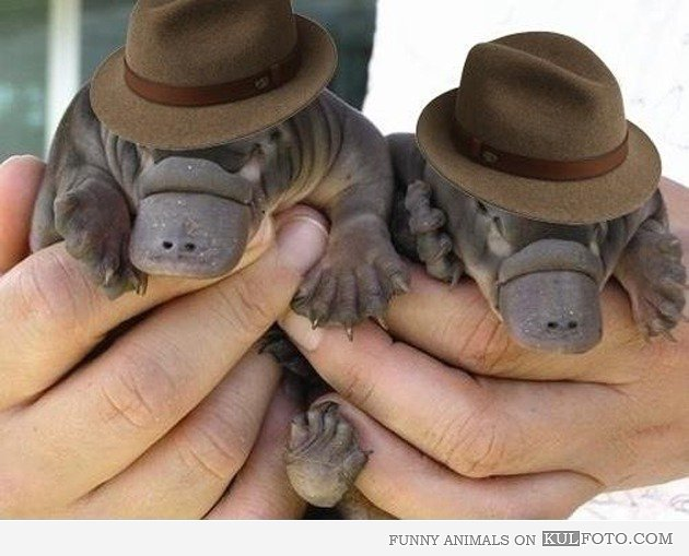 PlatypusGangsters